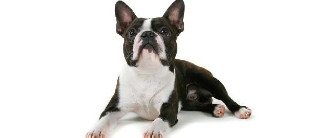 bulldog_frances-01
