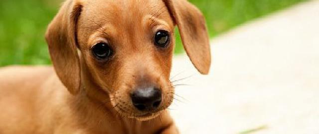 cachorro-dachshund-01