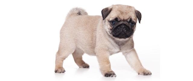 pug-puppy-01