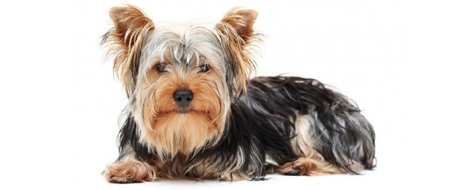 yorkshire-terrier-01