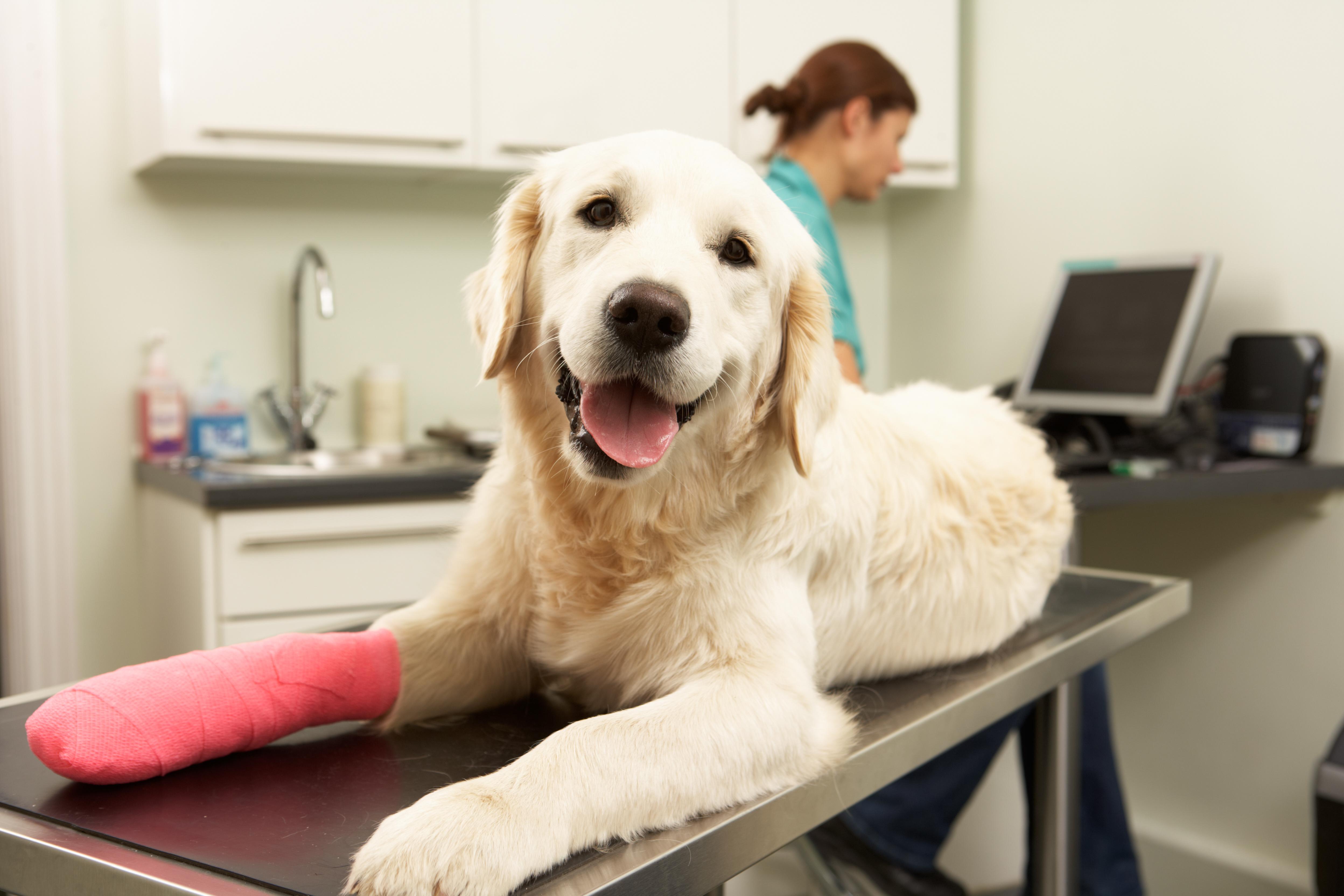 Síntomas y tratamiento para la artritis canina